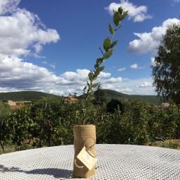 Chêne vert truffier - 1 an