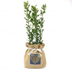 Lot de 5 chênes verts truffiers « sac à cœur » jute