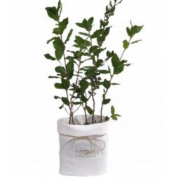 Lot de 5 chênes verts truffiers « SAC VILLA FARESE »